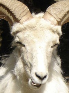 mouflon-dall-1
